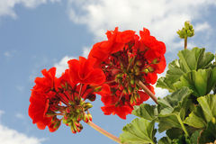 Rode tuingeranium - Ooievaarsbek Stock Foto