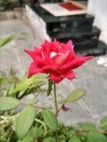 Rode tuinrozen royalty-vrije stock afbeelding