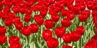 Rode Tulip Flowers in de Lente stock afbeeldingen