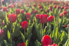 Rode Tulip Garden Royalty-vrije Stock Afbeeldingen