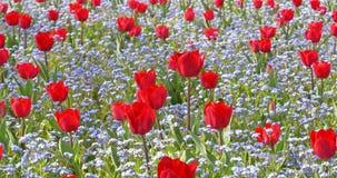 Rode Tulip Garden In Springtime stock video