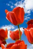 Rode tulp royalty-vrije stock fotografie