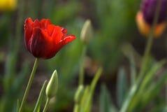 Rode tulp Stock Foto's