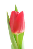 Rode tulp Stock Foto's