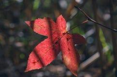 Rode tulp Stock Fotografie