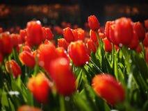 Rode tulp Royalty-vrije Stock Foto