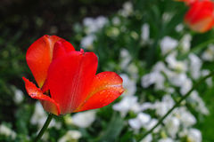 Rode tulp Stock Foto