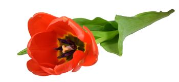 Rode tulp, close-up, diagonale regeling Royalty-vrije Stock Afbeelding
