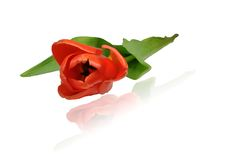 Rode tulp, close-up, diagonale regeling Stock Afbeelding