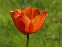 Rode tulp in de lente (achterlicht) Stock Foto