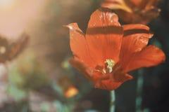 Rode tulp in de tropische tuin royalty-vrije stock foto's