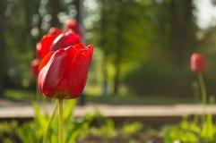 Rode tulp in de tuin stock afbeeldingen