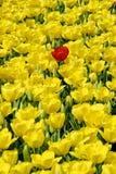 Rode tulp en gele tulpen stock foto's