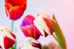 Rode tulp met het witte die scherpen door andere kleuren en een kleine creatieve gloed, een zachte nadruk en een kleine korrel wo royalty-vrije stock fotografie