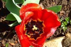 Rode Tulp na regen dichte omhooggaand Mening van hierboven Royalty-vrije Stock Foto