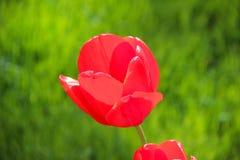 Rode Tulp onder op groene grasachtergrond Royalty-vrije Stock Afbeeldingen