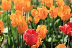Rode tulp op de achtergrond van veelkleurige tulpen stock fotografie