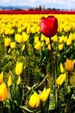Rode tulp op een gebied van geel Stock Foto's