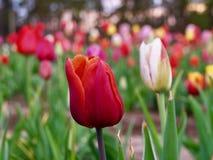 Rode tulp op een gebied van tulpen stock fotografie
