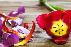 Rode tulp op een houten achtergrond Royalty-vrije Stock Foto's