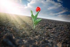 Rode tulp op het gebied Stock Afbeeldingen
