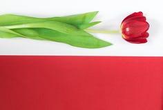 Rode tulp op witte en rode achtergrond Stock Afbeeldingen