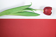 Rode tulp op witte en rode achtergrond Royalty-vrije Stock Foto's