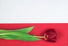 Rode tulp op witte en rode achtergrond Royalty-vrije Stock Afbeelding