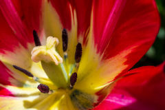 Rode tulp in tuin Stock Fotografie