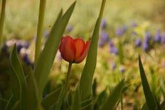 Rode tulp tussen de bladeren stock afbeelding