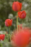 Rode tulpen. royalty-vrije stock fotografie