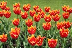 Rode tulpen. Stock Afbeelding