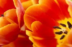 Rode tulpen. stock afbeeldingen