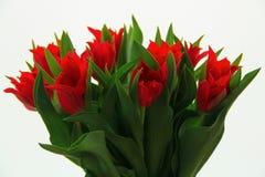 Rode tulpen Royalty-vrije Stock Afbeeldingen