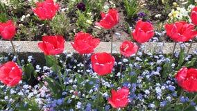 Rode tulpen stock videobeelden
