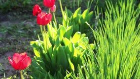 Rode tulpen stock video