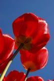 Rode tulpen royalty-vrije stock fotografie