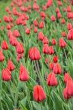 Rode tulpen Royalty-vrije Stock Afbeelding