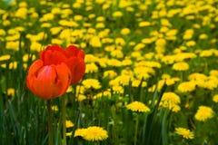 Rode tulpen Royalty-vrije Stock Foto's