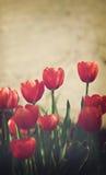 Rode tulpen Stock Afbeelding