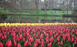 Rode tulpen Stock Foto
