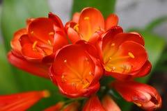 Rode tulpen stock afbeeldingen