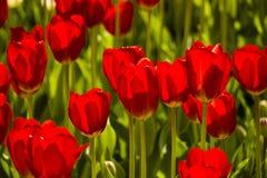 Rode tulpen Achtergrond stock foto's