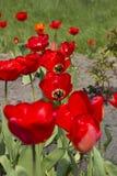 Rode tulpen in de botanische tuin Stock Fotografie