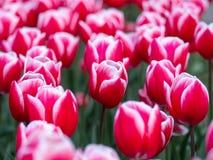 Rode tulpen in de Botanische Tuin van Keukenhof, Holland royalty-vrije stock foto