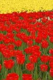 Rode Tulpen in de lente Royalty-vrije Stock Afbeeldingen