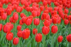 Rode Tulpen in de lente royalty-vrije stock foto