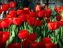 Rode tulpen in de lente Stock Foto