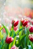 Rode tulpen in de regen Royalty-vrije Stock Afbeelding