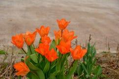 Rode tulpen in de tuin royalty-vrije stock foto